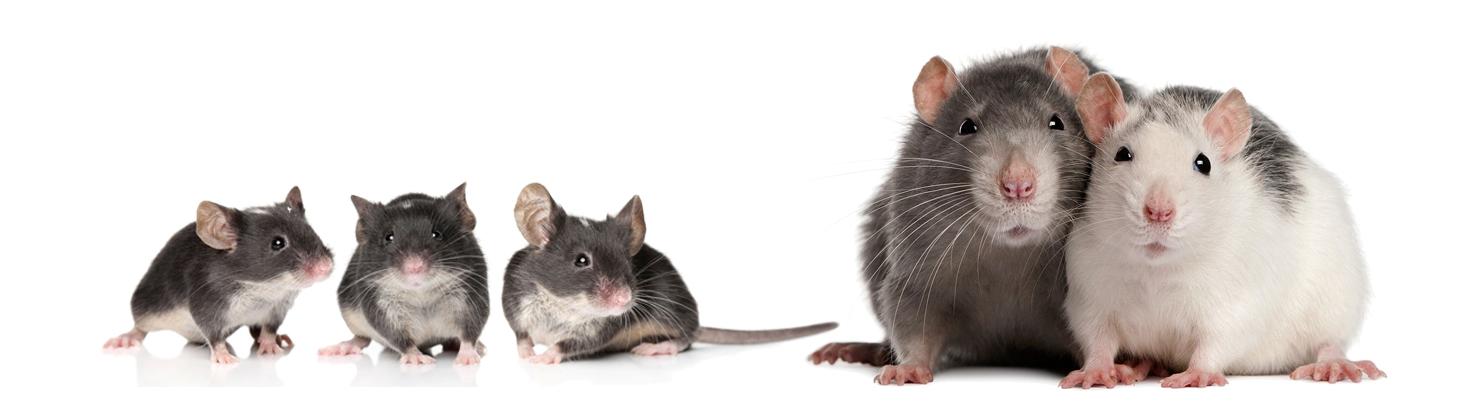 Ratas y ratones / Cuidados, alimentación y atención veterinaria ...